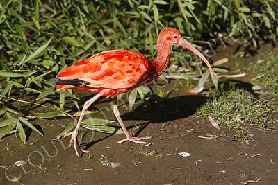 Scarlet ibis 00002 by Peter J Mancus