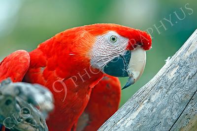 Scarlet Macaw 00004 by Peter J Mancus