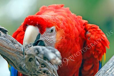 Scarlet Macaw 00008 by Peter J Mancus