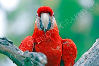 Scarlet Macaw 00006 by Peter J Mancus
