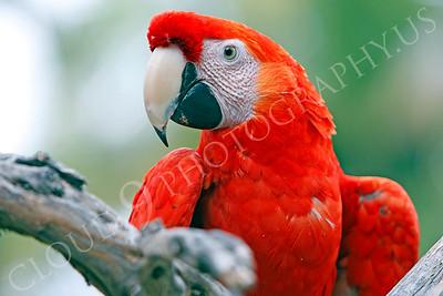Scarlet Macaw 00002 by Peter J Mancus