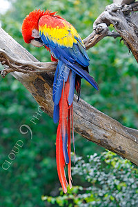Scarlet Macaw 00001 by Peter J Mancus