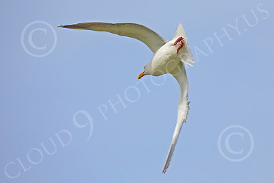 Seagull 00018 Seagull in flight by Peter J Mancus