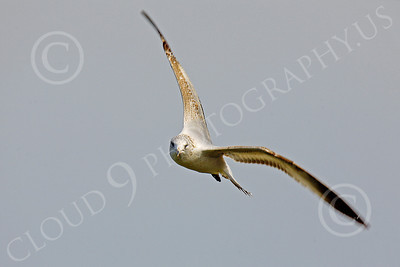 Seagull 00012 Seagull in flight by Peter J Mancus