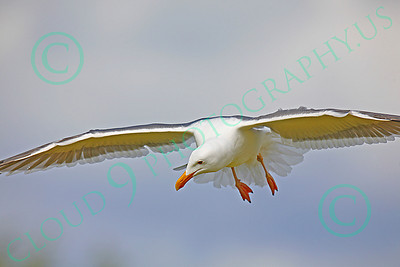 Seagull 00020 Seagull in flight by Peter J Mancus
