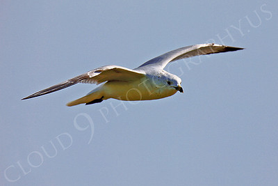 Seagull 00001 by Peter J Mancus
