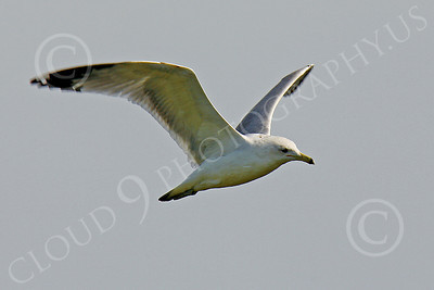 Seagull 00009 Seagull in flight by Peter J Mancus