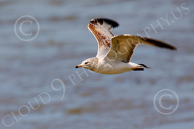 Seagull 00007 Seagull in flight by Peter J Mancus