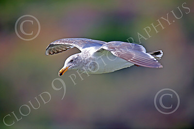 Seagull 00016 Seagull in flight by Peter J Mancus
