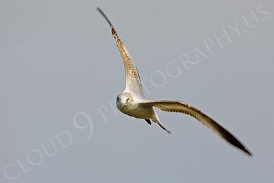 Seagull 00004 by Peter J Mancus