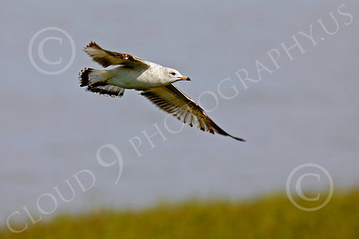 Seagull 00014 Seagull in flight by Peter J Mancus