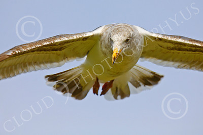 Seagull 00022 Seagull in flight by Peter J Mancus