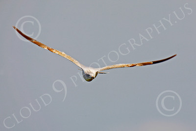 Seagull 00010 Seagull in flight by Peter J Mancus