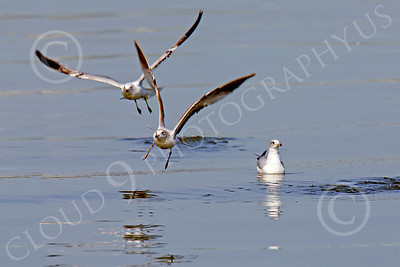 Seagull 00015 Seagulls taking off from calm water by Peter J Mancus