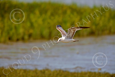 Seagull 00006 Seagull in flight by Peter J Mancus