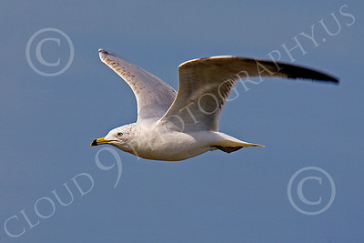 Seagull 00005 Seagull in flight by Peter J Mancus