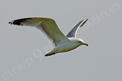Seagull 00005 by Peter J Mancus