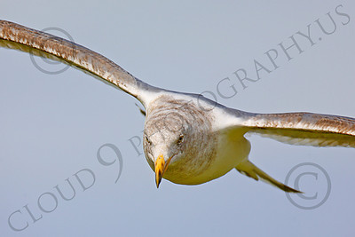 Seagull 00023 Seagull in flight by Peter J Mancus
