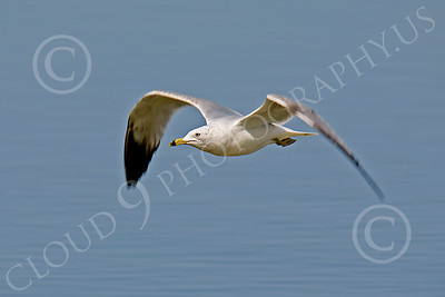 Seagull 00004 Seagull in flight by Peter J Mancus