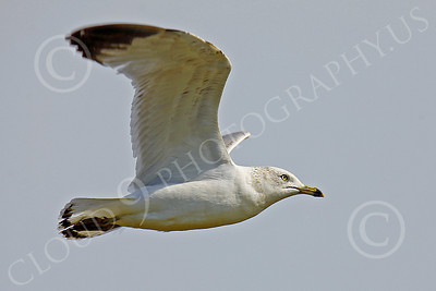 Seagull 00013 Seagull in flight by Peter J Mancus