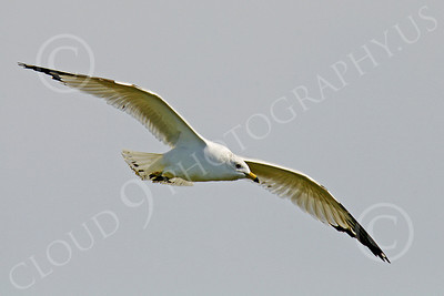 Seagull 00011 Seagull in flight by Peter J Mancus