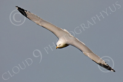 Seagull 00008 Seagull in flight by Peter J Mancus