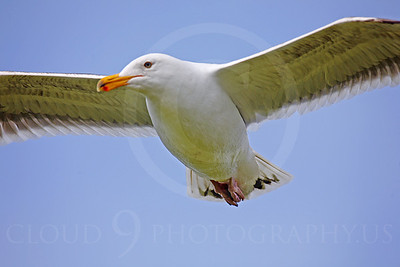 Seagull 00013 by Peter J Mancus