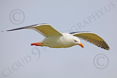 Seagull 00021 Seagull in flight by Peter J Mancus