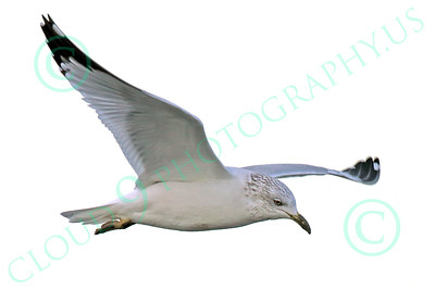 Seagull 00024 A flying seagull, wild bird photograph by Peter J Mancus