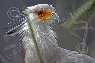 Secretary Bird 00004 A secretary bird in brush, by Peter J Mancus