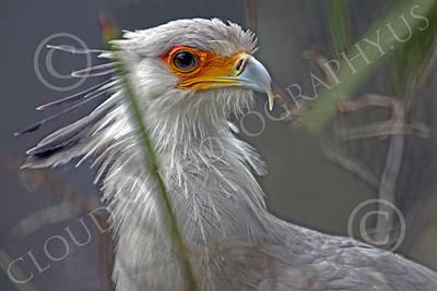 Secretary Bird 00004 A secretary bird in brush, by Peter J Mancus