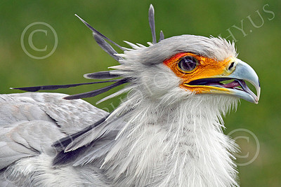 Secretary Bird 00018 Close up of an opened mouth secretary bird, by Peter J Mancus