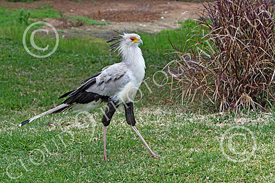 Secretary Bird 00002 A walking secretary bird, by Peter J Mancus