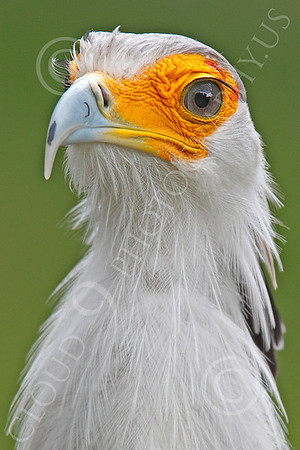 Secretary Bird 00005 A secretary bird, by Peter J Mancus