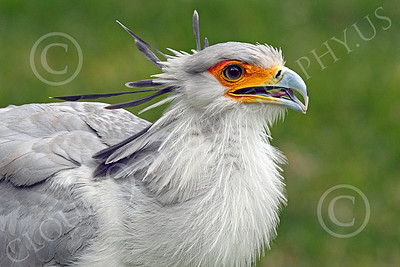 Secretary Bird 00003 An opened mouth secretary bird, by Peter J Mancus