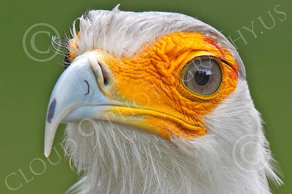 Secretary Bird 00024 Close up of a secretary bird's head, by Peter J Mancus