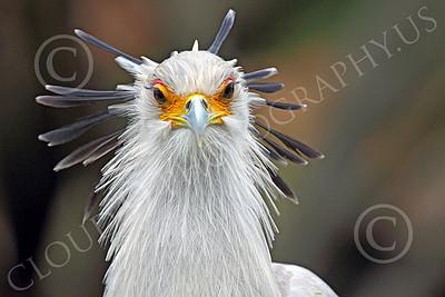 Secretary Bird 00001 Head on view of a secretary bird's head, by Peter J Mancus