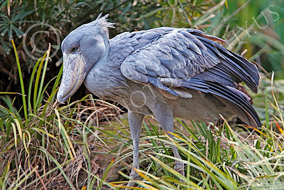 Shoebill 00006 A mature shoebill hunts for food, by Peter J Mancus