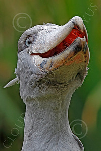 Shoebill 00009  A mature shoebill with an open bill, by Peter J Mancus