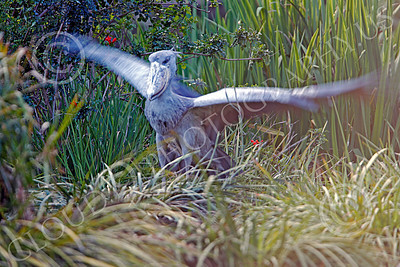 Shoebill 00050 A mature shoebill flaps its wings, by Peter J Mancus