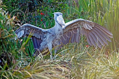 Shoebill 00018 A mature shoebill spreads its wings, by Peter J Mancus