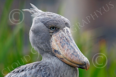 Shoebill 00002 Three-quarter front view of a shoebill's head, by Peter J Mancus
