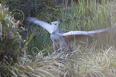 Shoebill 00008 A mature shoebill flaps its wings, by Peter J Mancus