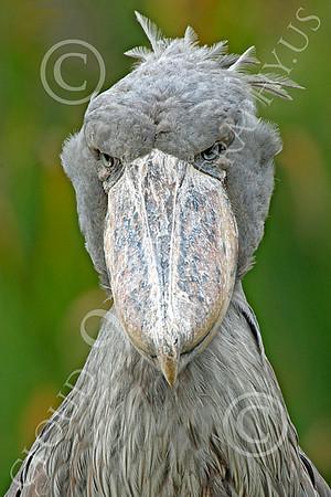 Shoebill 00027 Close up portrait of a mature shoebill, by Peter J Mancus