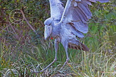 Shoebill 00004 A mature shoebill flaps its wings, by Peter J Mancus