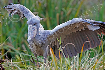 Shoebill 00003 A mature shoebill spreads its wings, by Peter J Mancus