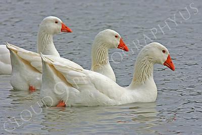Snow goose 00014 by Peter J Mancus