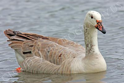 Snow goose 00022 by Peter J Mancus