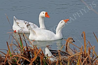 Snow goose 00001 by Peter J Mancus