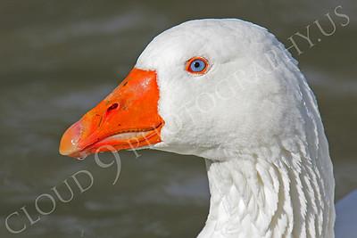 Snow goose 00020 by Peter J Mancus